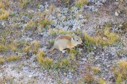 Ground Squirrel!